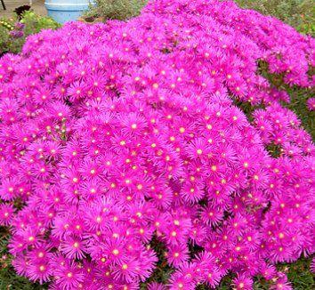 Lampranthus 'Pink Kaboom'| plant lust
