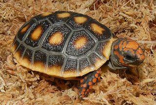 Jabuti-piranga: Chelonoidis carbonaria
