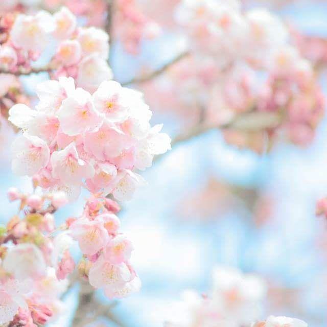 【nagasekyouko】さんのInstagramをピンしています。 《*熱海桜** 🌸🌸🌸 #_lovely_weekend #airy_pics #bella_pastels #bns_flowers #bokeh_addicts #bokeh_and_blur #flipping_flowers #fs_light #infinity_bokeh #LOVES_UNITED_FLORA #my_daily_flower #myheartinshots #natura_friends #ptk_flowers #rainbow_petals #splendid_flowers #splendid_lite #super_romanticas #superb_flowers #team_jp_flower #tv_flowers #whim_fluffy #wp_flower #ゆるかわ写真 #エアリーフォト #ふんわり写真部 #ボケの極み乙女_部 #はなまっぷ #桜》