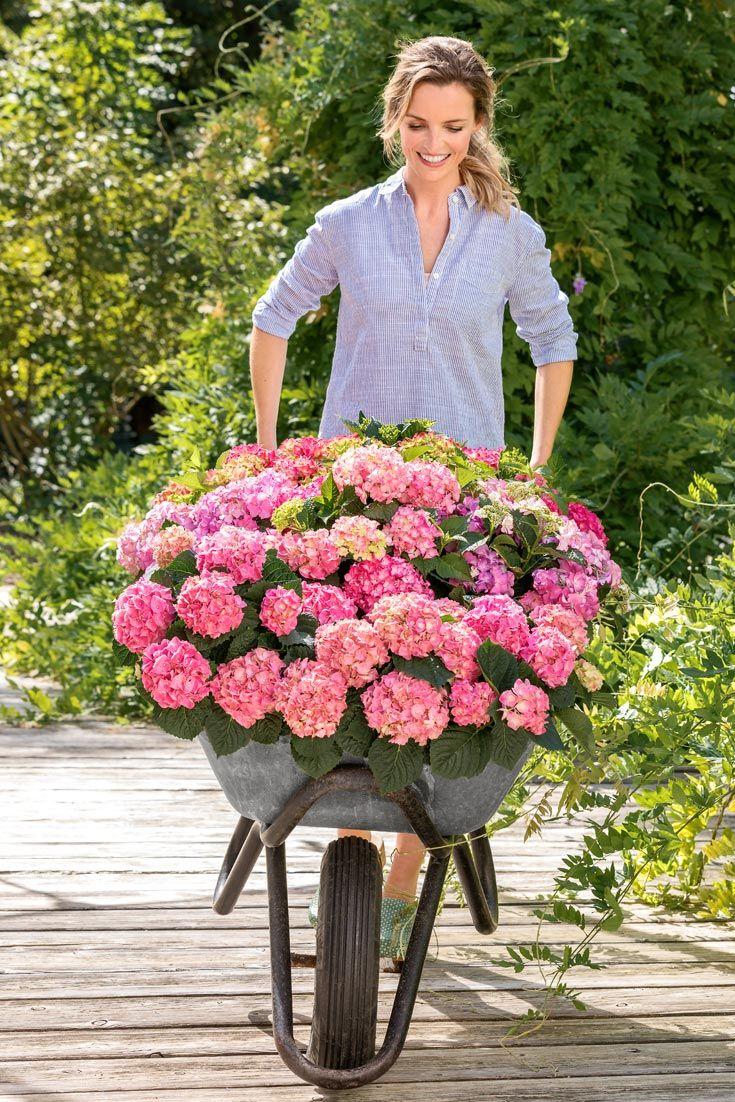 Hortensien Hortensien Eichenblattrige Hortensie Hortensie Pinky Winky