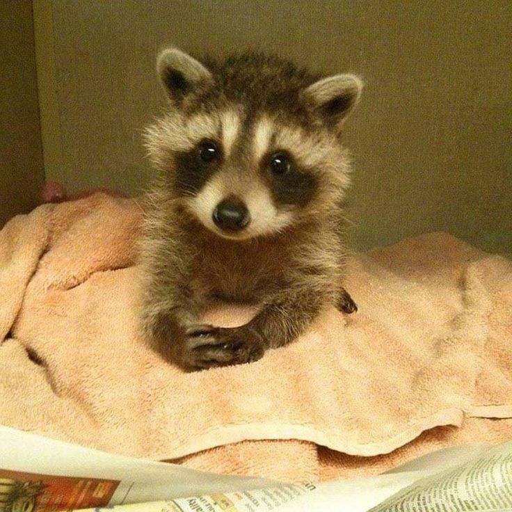 Baby racoon wants you to have a great saturday http://ift.tt/2eb1ZSc