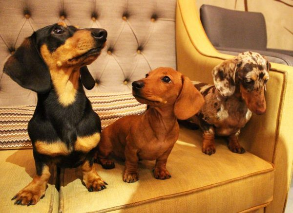 World S First Dachshund Cafe Is Coming To The Uk Where And When