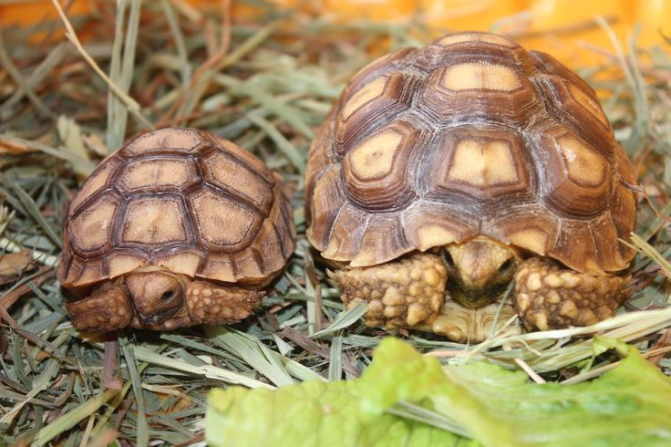 how to tell how old a tortoise is
