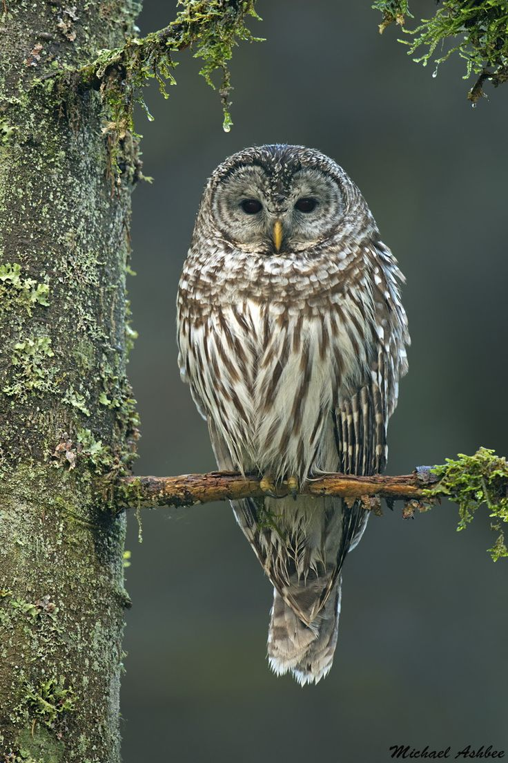 A Barred Owl sits majestically in the pacific coast rainforest.
