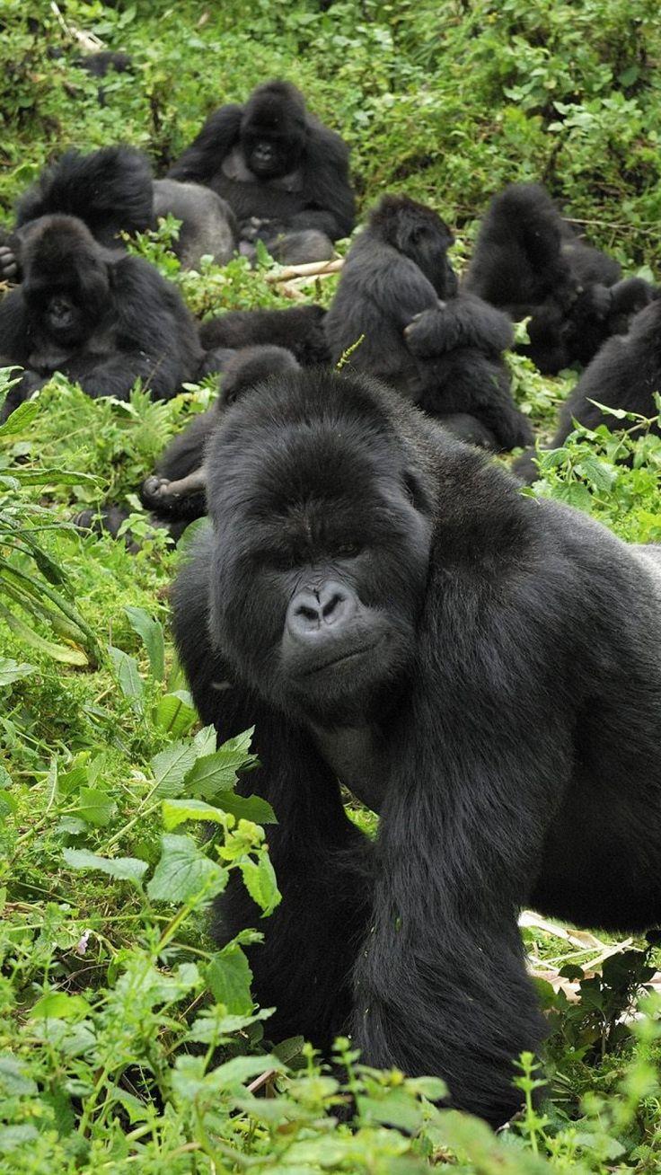 Silverback gorilla protecting his troop