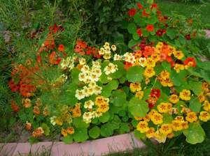 Как правильно выращивать настурцию