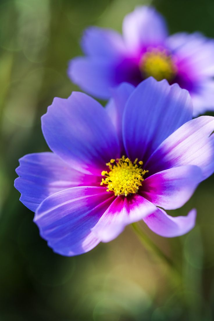25+ best ideas about Cosmos flowers on Pinterest   Cosmos ...