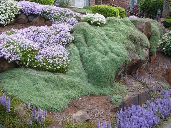 Wooly thyme edible creeping ground cover yard and for Landscaping ground cover plants