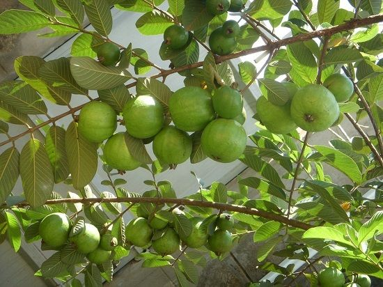 25 Best Drought Tolerant Fruit Trees That Grow In Lack Of