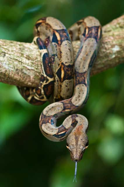 boa wrapped on a tree limb http://10degreesabove.com/boa-constrictor-boa-constrictor/