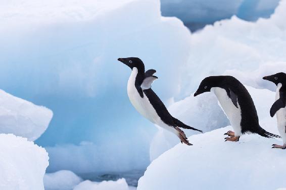 Jumping!!: Crazy Penguins, Snow Pilepenguin, Big Snow, Penguins Diving, Turn Jumping, Spectacular Birds, Random Stuff, Penguins Land, Animal