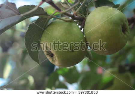 Green apple fruit from Malang, East Java