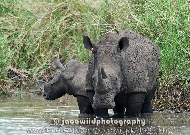 #Rhino in Kruger National Park