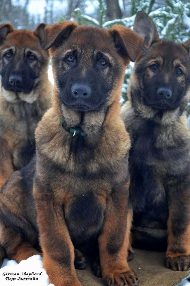 German Shepherd Dogs Australia Check Out Http Www Upscaledogtoys