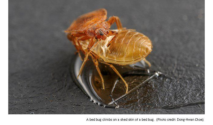 UCR researchers found scents from the shed skin from bed bugs affects pests behaviors.  http://ow.ly/b0Cf302Risspic.twitter.com/h3nChlDmhM