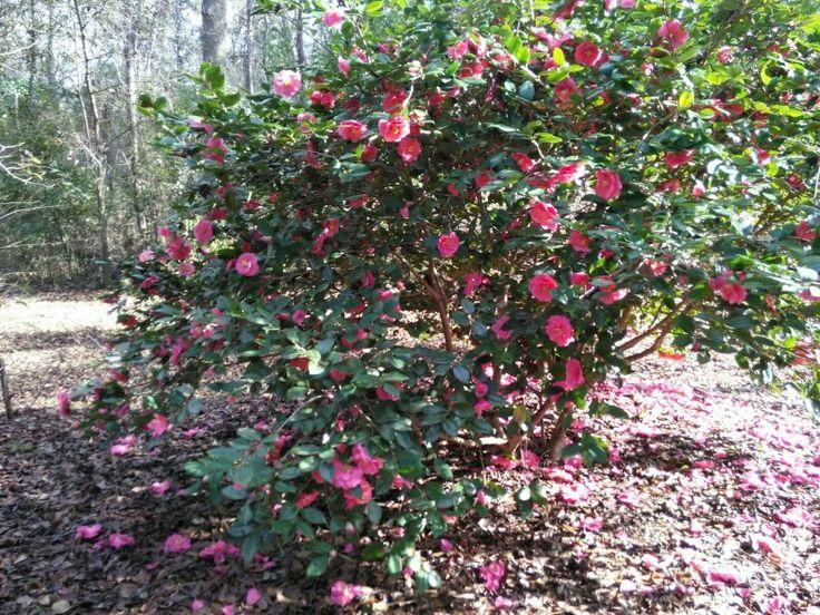 Camellia japonica 'Hugo' zone 8B December | Gardening ...