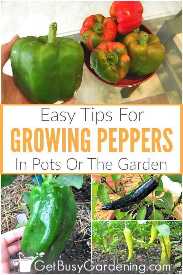 How To Grow Peppers The Ultimate Guide Stuffed Peppers Growing Peppers Pepper Plant Care
