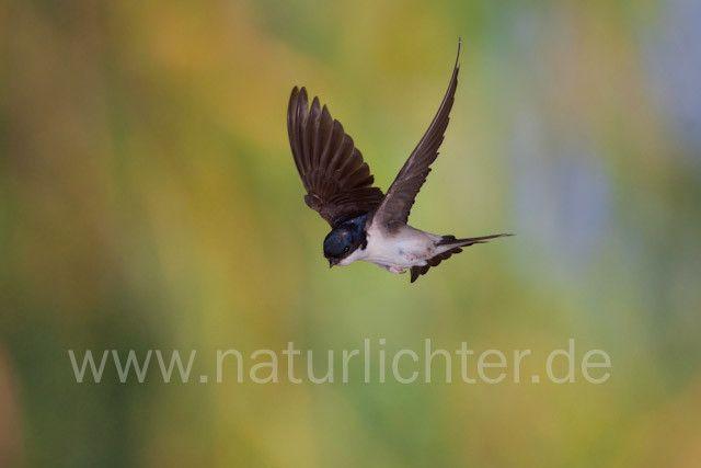 R7835 Mehlschwalbe im Flug, House Martin flying