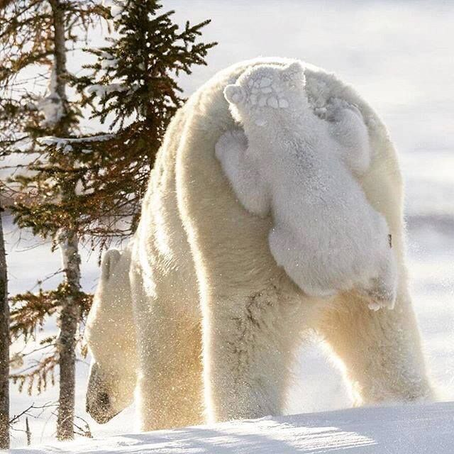 #polar #bear #coupon code nicesup123 gets 25% off at  leadingedgehealth.com