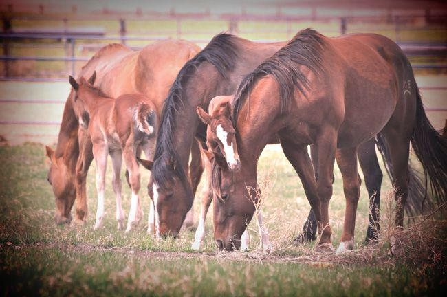 Follow a typical equine pregnancy and a follicle along in normal breeding development. My Stable Life (blog) www.westernhorsereview.com. Photo by Jenn Webster