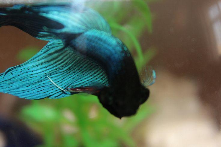 #betta #fish #blue #balık #mavi