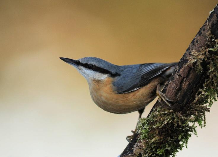 Fotograaf: bonteklepper    De Boomklever is de enige vogel die zowel met zijn kop omhoog of met zijn kop omlaag langst een boomstam omhoog en omlaag kan kruipen , een echte acrobaat dus . Een welgekomen gast in onze tuin .        Categorie:Vogels (mus, valk, etc)        Nederlandse naam: Boomklever      Wetensch. naam: Sitta europaea