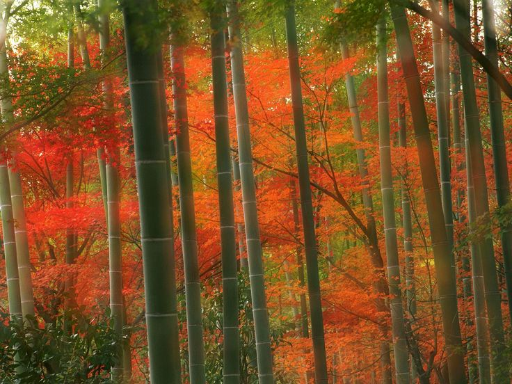 forestArashiyama Parks, Autumn, Colors, Bamboo Forests, Trees, Desktop Wallpapers, Kyoto Japan, Bambooforest, Japan Travel