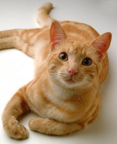 gato amarillo!!!