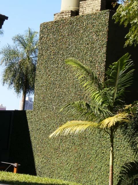 La enamorada del muro (Ficus repens)