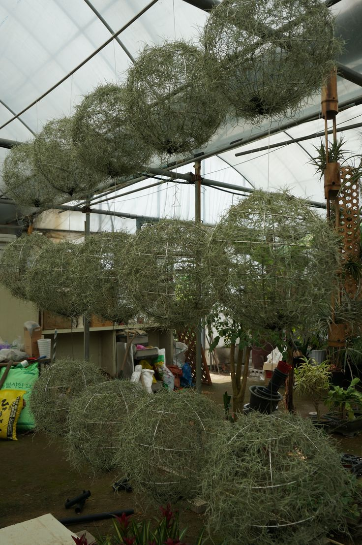 Spanish moss for crafts - Spanish Moss Aka Usneoides Are Easy And Portable To Display And Easy To Shape Anyway You
