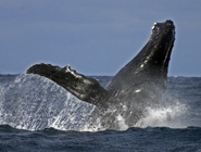 Whale watching- Sail boat tour port stephens