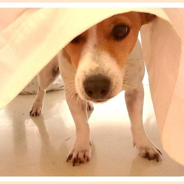 Mini is one cool Jack Russell Terrier... love this one, though I'm unacquainted with Mini.