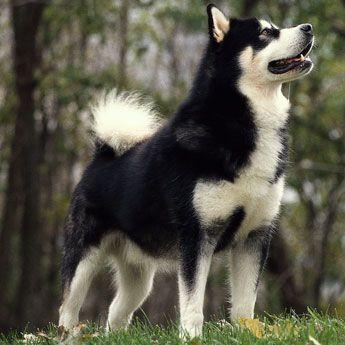 Alaskan Malamute - Large Dog Breed profile