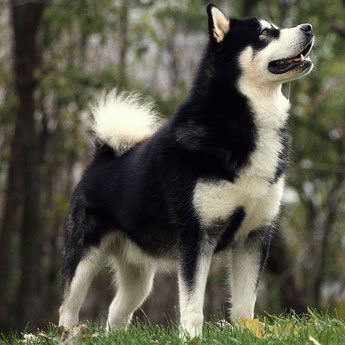Alaskan Malamute - Large Dog Breed profile