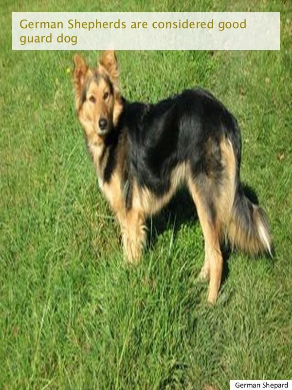 Been Looking For German Shepherd Breeders German Shepherd