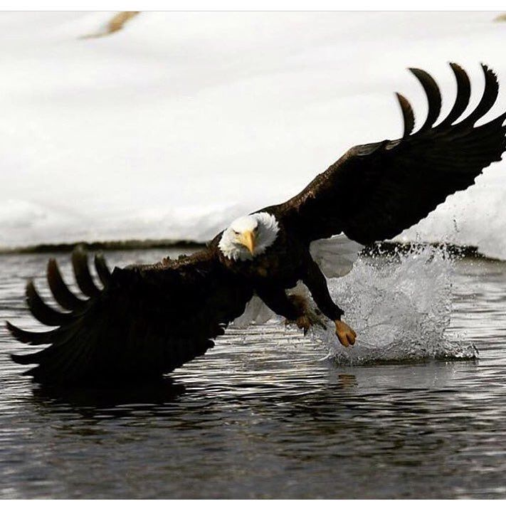 Land of the free @busywild #wildlife #bird #hunting #fish #fishing #huntnw #huntwa #outdoors