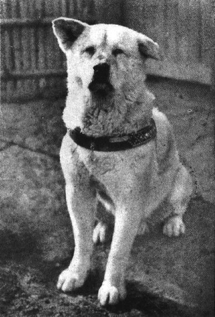 El Legendario Perro Hachiko, Se Reune Para Siempre Con Su Dueño
