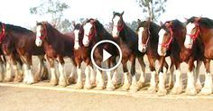 The Budweiser Clydesdales horses are too cool.