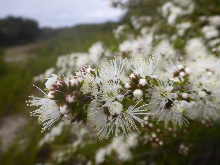 Kunzea now in flower (October) in north east Tasmania.