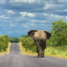 An #elephant walking on one of the tar roads that connect the main camps in Kruger National Park. Elephants in Kruger often use the roads to travel as they are free of vegetation and simplifies transport. Smart Guys ! (photo by Mario Moreno) #travel #Africa