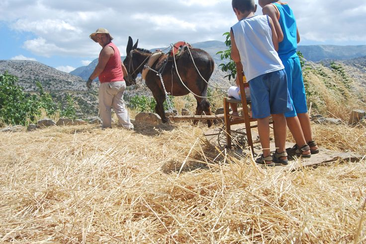 Traditional threshing with the donkey