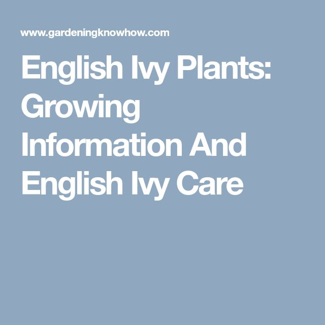 English Ivy Plants: Growing Information And English Ivy Care