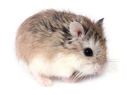 Rongeur Hamster
