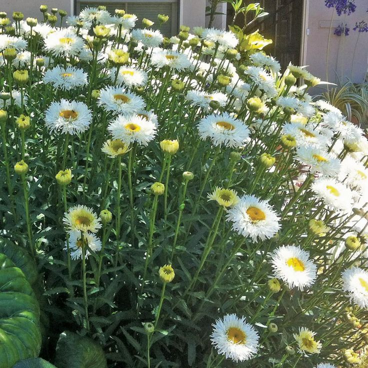 Summer 22h X 20w Real Galaxy Shasta Daisy Google
