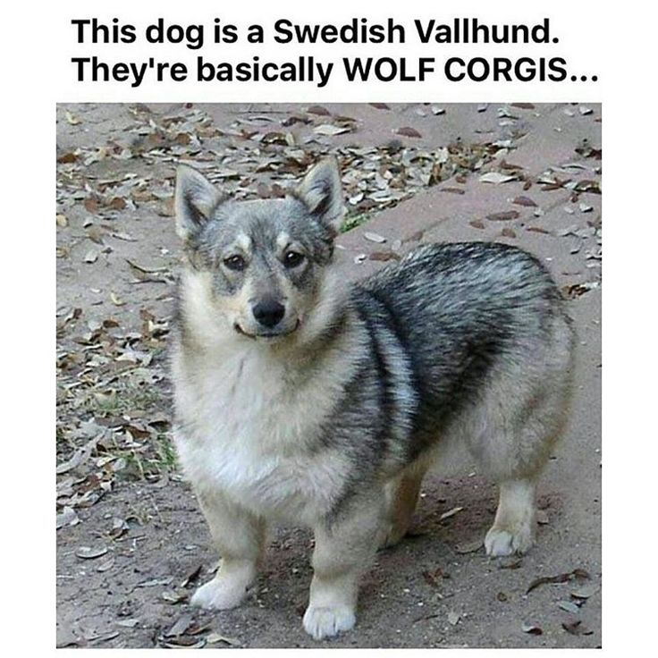 @tinderonians is awesome just like this wolf corgi go follow right now!