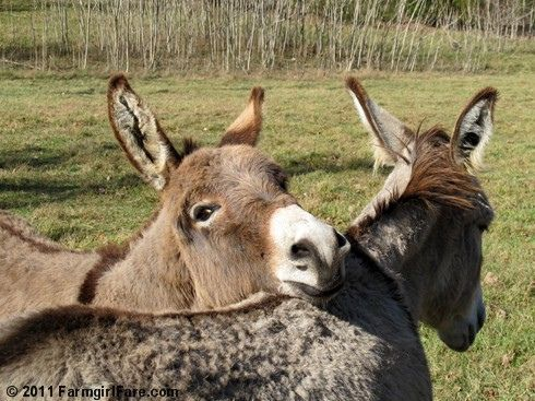 One year old Gus and his mama Daphne (2 of our 7 donkeys)