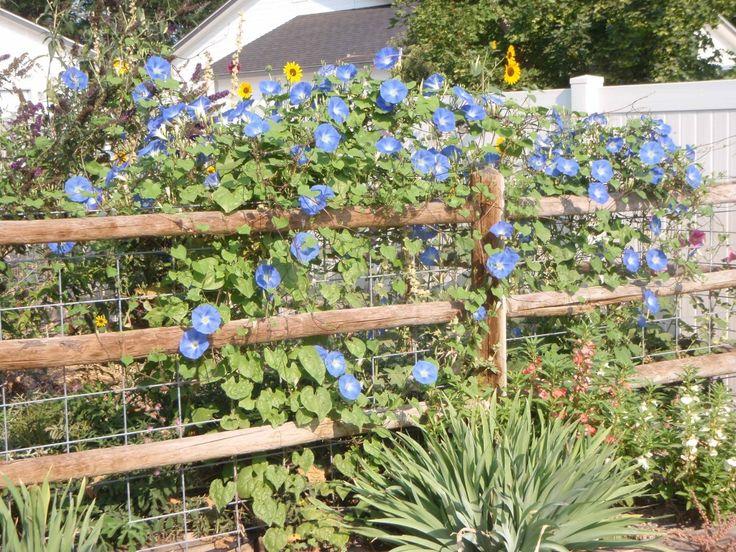 training morning glories | heavenly blue morning glory climbing fence