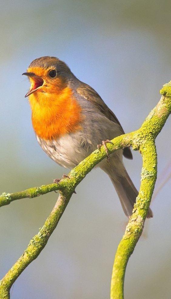 Pin By Diane Spero On Drawings Birds Bird Feathers European Robin