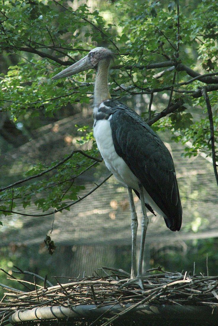 El marabú menor (Leptoptilos javanicus) El marabú menor (Leptoptilos javanicus) es una especie de ave ciconiforme de la familia Ciconiidae. Es una especie sumamente difundida que procrea en el sur de Asia desde el este de la India hasta el sur de China y la isla de Java. No se reconocen subespecies.