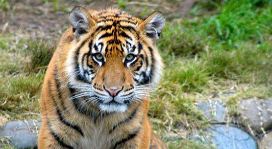 Saving Endangered Tigers